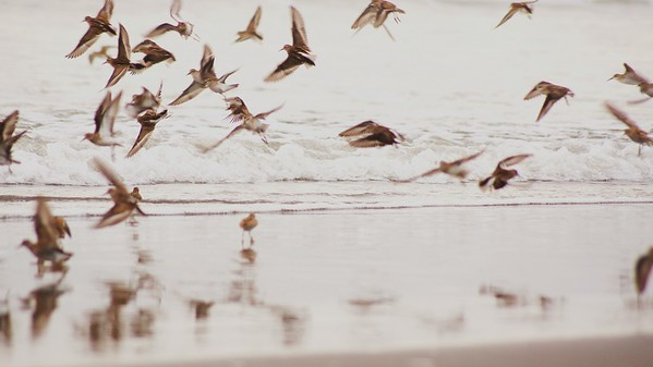 A Feathered Frenzy, Kalaloch, WA