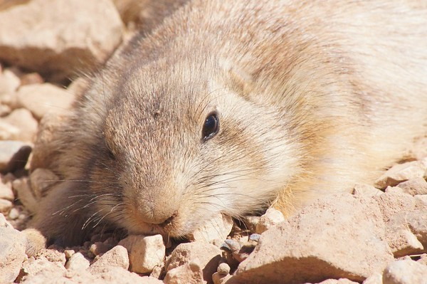 Sleepy Groundhog, Sonoran Desert Museum, AZ