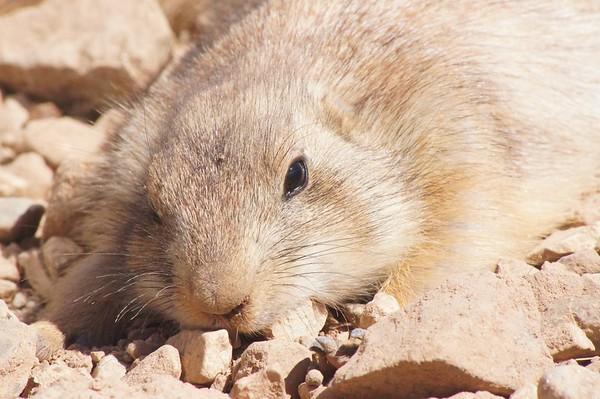 Sleepy Groundhog, Sonoran Desert Museum, AZ