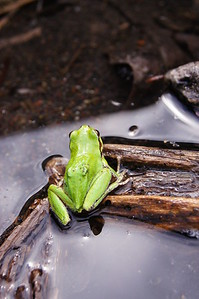 Frog, Elbe, WA