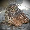 Burrowing Owl, Homosassa Springs Wildlife Park, FZ300