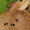 Beeswax:  waxy material produced by worker bees and used to build combs.
