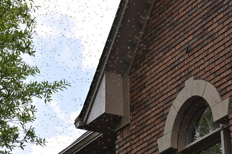 Honey Bee Invasion April 2009