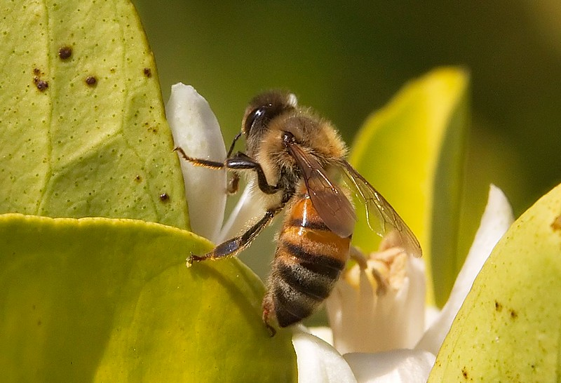 Honeybee on an orange blossom.