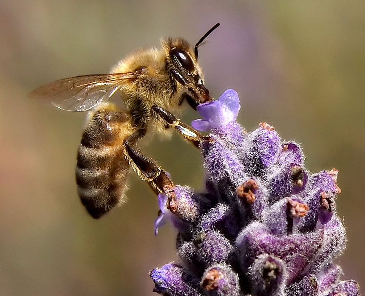 A busy honeybee working on a Lavender flower.