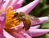 Honeybee on flower.