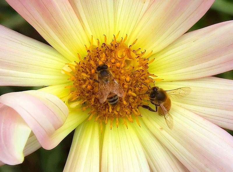 Honeybees on a Gerbera Daisy