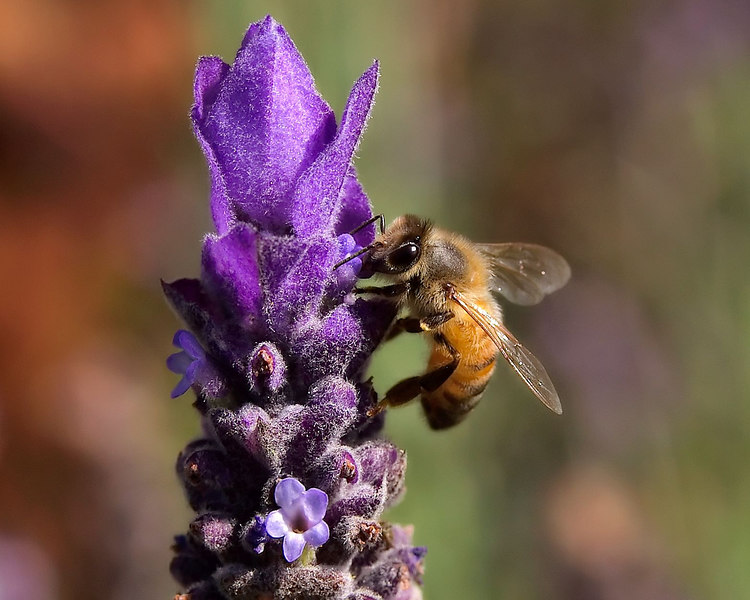 Honeybee working on a Lavender flower.