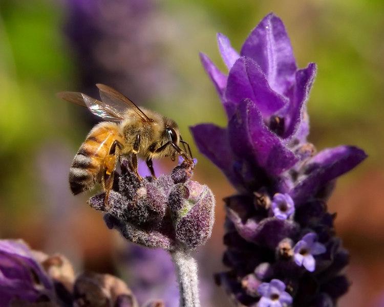 Honeybee working in garden lavender.