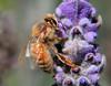 Honeybee on Lavender..