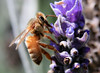 Honeybee on Lavender..