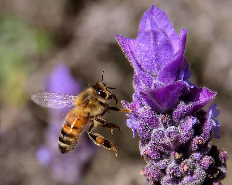 honeybee near a Lavender flower.