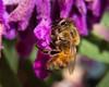 Honeybee on Mexican Bush Sage