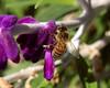 Honeybee on Mexican Sage