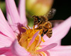 Honeybee on a Gerber Daisy