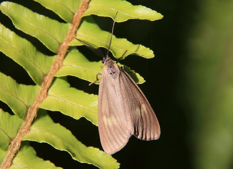 California Oak Moth on a fern. (Phryganidia californica)