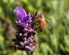 Bee on Lavander
