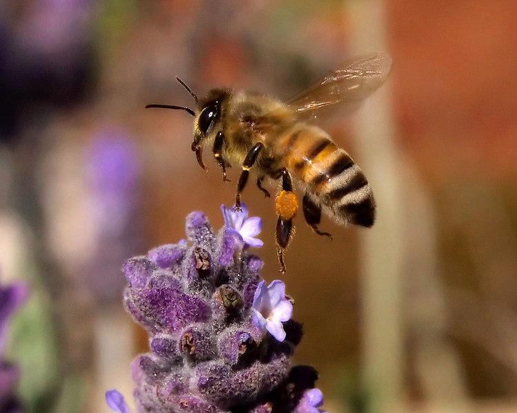 Honeybee departing from a Lavender flower.