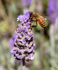 Honeybee on Mexican Sage.