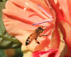 Close up of a Honeybee in front of a Gladiola flower