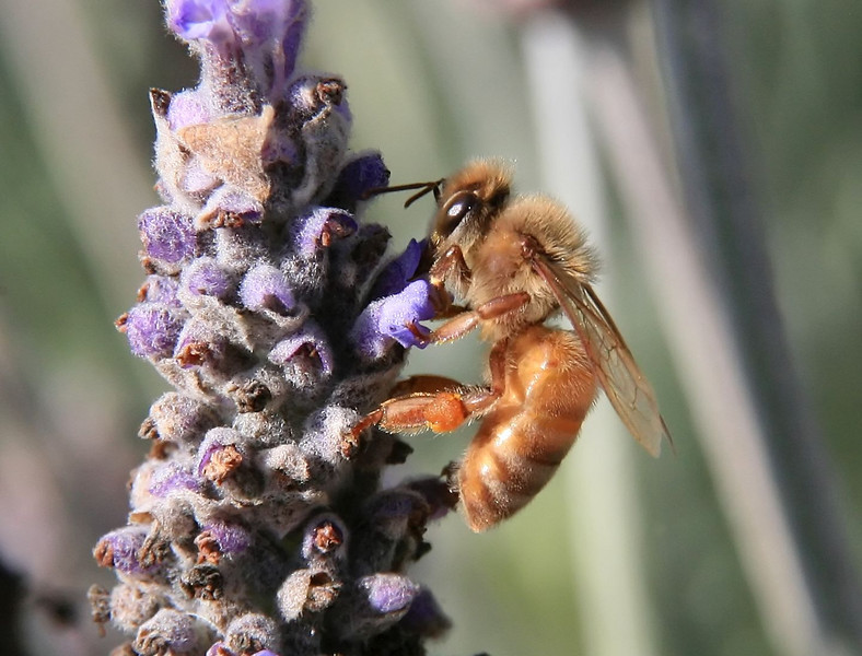 Lots of bee photos, most taken on some conveniently located Lavender plants. These were all taken hand held using natural light.
