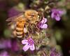 A honeybee at work.