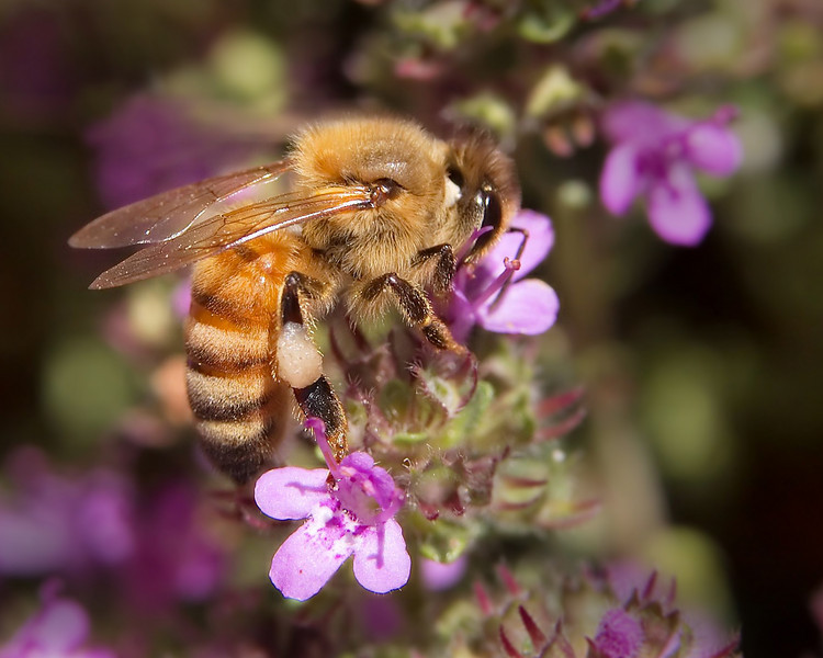 A honeybee at work.