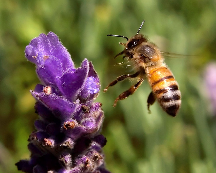 A honeybee flying away from a lavender flower.