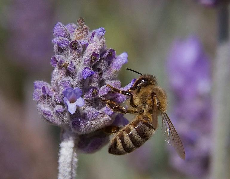 Honeybee on Lavender.