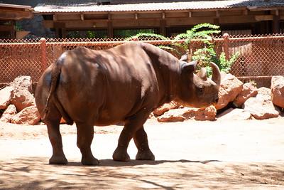 Black rhinoceros, Diceros bicornis, at Honolulu Zoo, Oahu, Hawaii
