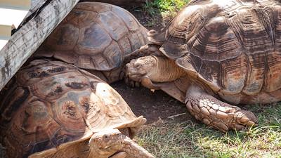 African spurred tortoise, Geochelone sulcata, at Honolulu Zoo, Oahu, Hawaii