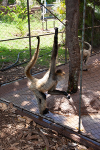 Black-handed spider monkey (Aletes geoffroyi) at Honolulu Zoo, Oahu, Hawii