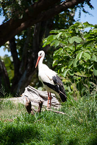 White Stork, Ciconia ciconia, at Honolulu Zoo, Oahu, Hawaii