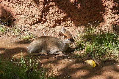 Kirk's dik-dik (Madoqua kirkii) at Honolulu Zoo, Oahu, Hawaii