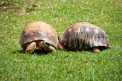 Radiated tortoise, Astrochelys radiata, at Honolulu Zoo, Oahu, Hawaii