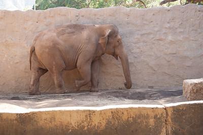Indian elephant, Elephas maximus indicus, at Honolulu Zoo, Oahu, Hawaii