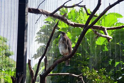 Hawaiian Hawk or `Io (Buteo solitarius) at Honolulu Zoo, Oahu, Hawaii