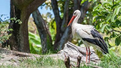 White Stork, Ciconia ciconia, at Honolulu Zoo, Oahu, Hawaii