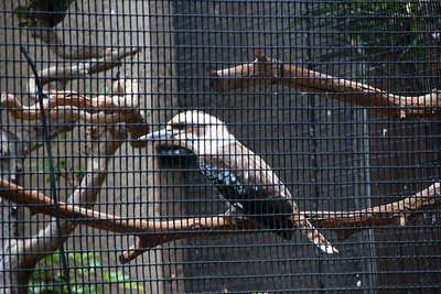 Kookaburra, Dcelo novaeguineae, at Honolulu Zoo, Oahu, Hawaii
