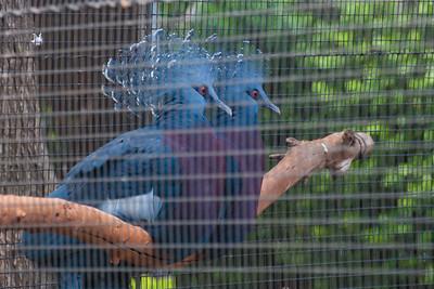 Victoria Crowned-pigeon, Goura victoria, at Honolulu Zoo, Oahu, Hawaii