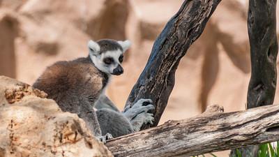 Ring-tailed lemur, Lemur catta, at Honolulu Zoo, Oahu, Hawaii
