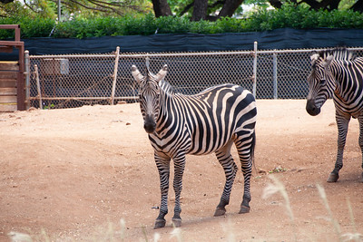 Plains zebra, Equus burchellii, at Honolulu Zooo, Oahu, Hawaii