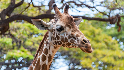Reticulated giraffe, Giraffa camelopardalis reticulata, at Honolulu Zoo, Oahu, Hawaii