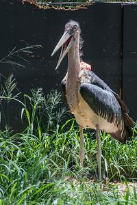 Marabou Stork, Leptoptilos crumeniferus, at Honolulu Zoo, Oahu, Hawaii