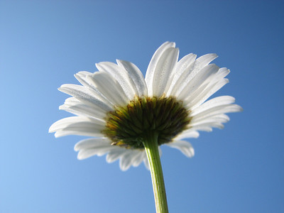 Hooked on Daisies