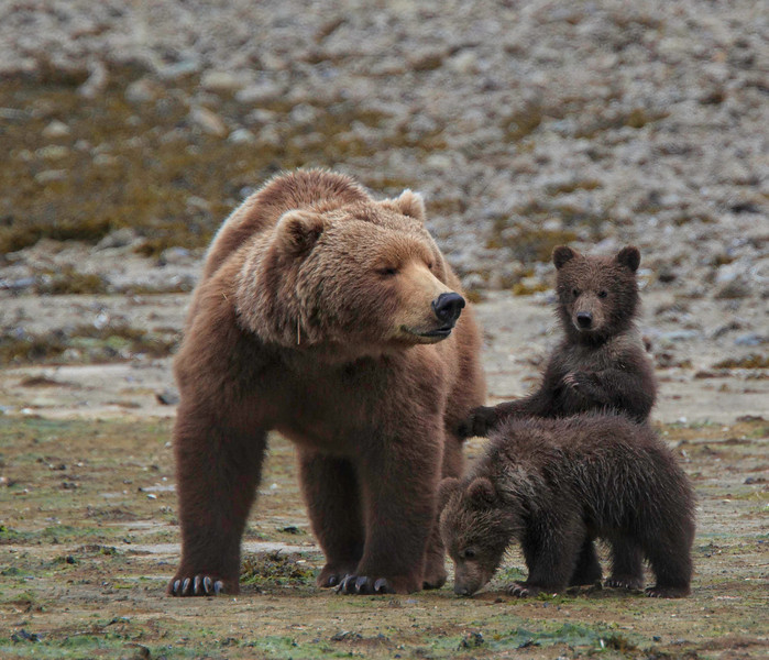 Mom and Cubs, Katmai, Alaska