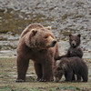 Mom and Cubs, Katmai, Alaska