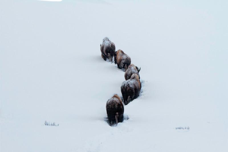 Bison Line Dancers