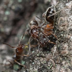 Liometopum occidentale, the Velvety Tree Ant