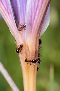 Ants (Prenolepis imparis, Winter Ant?) on an Iris bloom.